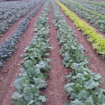 long-rows-of-greens-kale-tuscany-kale-organic-tn-